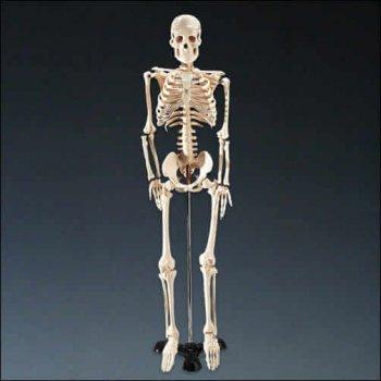 Hanging Skeleton-0